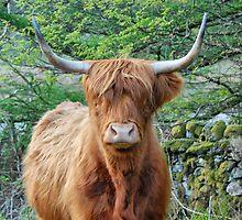 Hielan Coo, Lochgoilhead by Alisdair Gurney