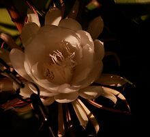 Night Blooming Cereus II by Amanda Figueroa