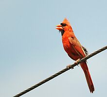 Cardinal on a Wire by Ryan Houston