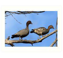 Australian Wood Ducks Art Print