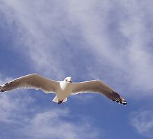 Jonathon Livingston Seagull up in the Cirrus by didjman