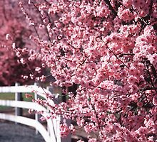 Cherry Blossoms by Richard  Leon
