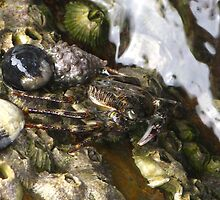 Rock Crab - Depot Beach by Marilyn Harris
