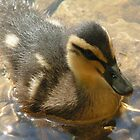 Mallard Duckling 1 by Richard Durrant