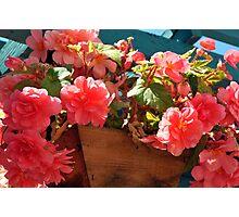 Begonia Ambrosia Photographic Print