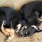 Kelpie Puppies by Mark Batten-O'Donohoe