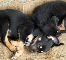 Kelpie Puppies by Mark Batten-O'Donohoe