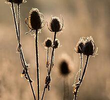 Backlit Teasels by Ashley Beolens