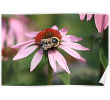 ECHINACEA AND BUMBLE BEE Poster