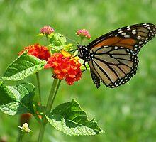 Monarch on Lantana by Caren