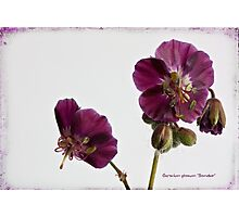 """Geranium phaeum """"Samobor"""" Photographic Print"""