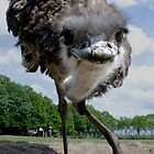 Curious Ostrich by hanspeters
