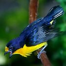 Violaceous Euphonia by Lisa G. Putman