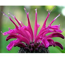 Floral Crown (Bee Balm) Photographic Print