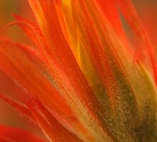 Indian Paintbrush by Steve  Taylor