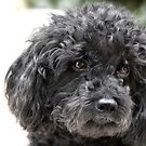 The Toy Poodle by Christine Till  @    CT-Graphics