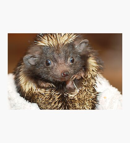 Hedgehog with Big Ears Photographic Print