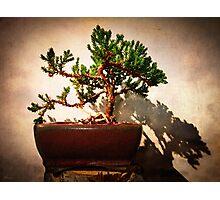 Windswept Juniper Bonsai Photographic Print