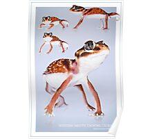 Western Smooth Knobtail Gecko [Nephrurus levis occidentalis] Poster