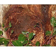 Trunk Of An Ancient Red Tingle Tree Photographic Print