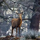 Young stag in winter by Martin Griffett