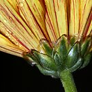 Striped Petals II by Lesley Smitheringale