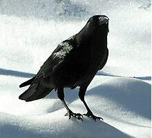Crow on Snow Photographic Print