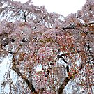 Cherry Blossoms by jselliott