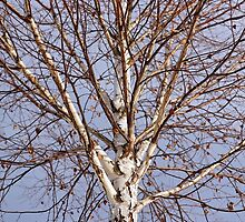Birch tree against blue sky by naturalis