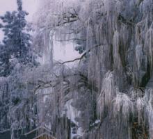 Frozen Willow Sticker