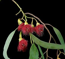 Red Flowering Gum by Steven  Agius