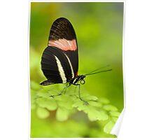 Postman Butterfly (Heliconius melphomene) Poster