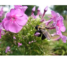 A Bumblebee on a Flower Photographic Print