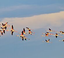 Greater Flamingo - Formation of Color by LivingWild
