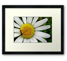 He Loves Me, He Loves Me Not... Framed Print