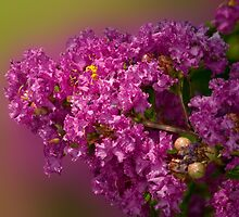 Crepe Myrtle by Bonnie T.  Barry