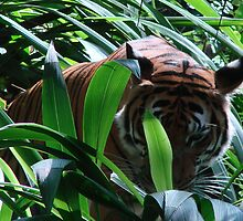 Tiger by Garret