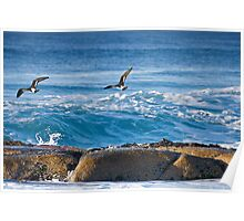 Pied Oyster Catchers Poster