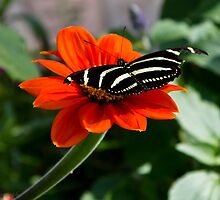 Zebra butterfly on orange dahlia by KSKphotography