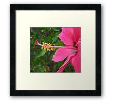 Scarlet Hibiscus Framed Print