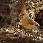 Female Cardinal by Richard G Witham