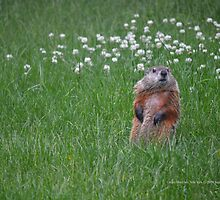 Marmota Monax - Groundhog | Center Moriches, New York  by © Sophie W. Smith