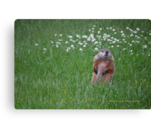 Marmota Monax - Groundhog | Center Moriches, New York  Canvas Print