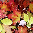 Autumn Leaves of the Canadian Maple by Racheli