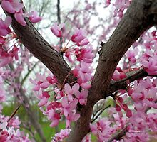 Blooming Tree of Pink Flowers in Springtime - Nature Photography by Barberelli by Barberelli