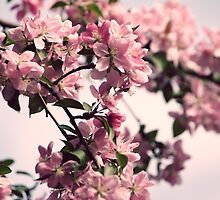 Plum Blossoms by ANWPhotography