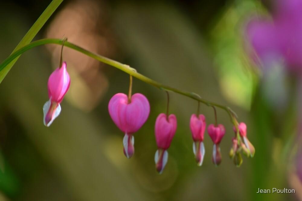 Bleeding hearts by Jean Poulton