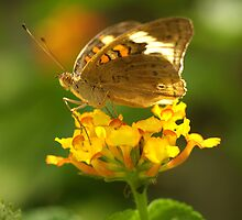 Common Buckeye I by Lisa G. Putman