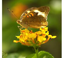 Common Buckeye I Photographic Print