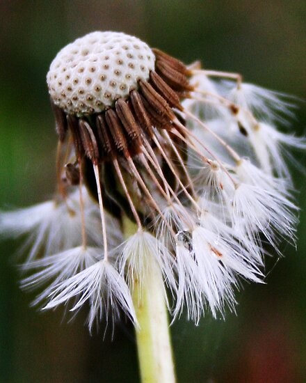 dandelion by Tamara Brandy